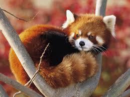 Red Panda, Newquay Zoo