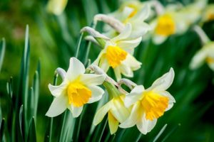 Daffodils means Easter is coming