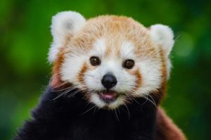 Red Pandas can been seen at Newquay Zoo