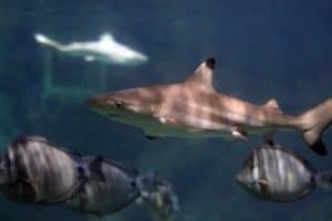 Black tip juvenile shark at the Blue Reef Aquarium, Newquay