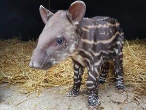 Baby Tapir at Newquay Zoo